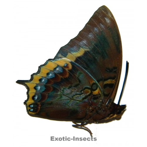 Charaxes eurialus