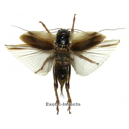 Gryllidae sp.07