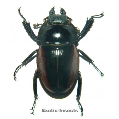 Odontolabis gazella