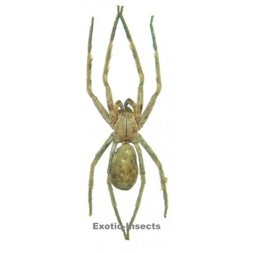Arachnida sp.14