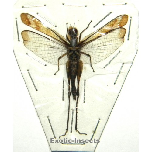 Orthoptera sp.69