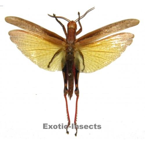 Eucoptacra ceylonica