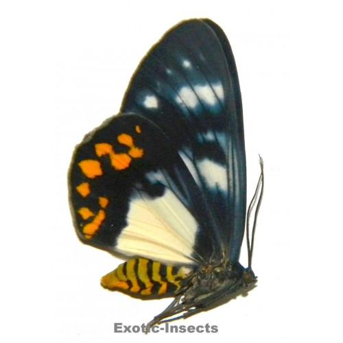 Callhistia angelus