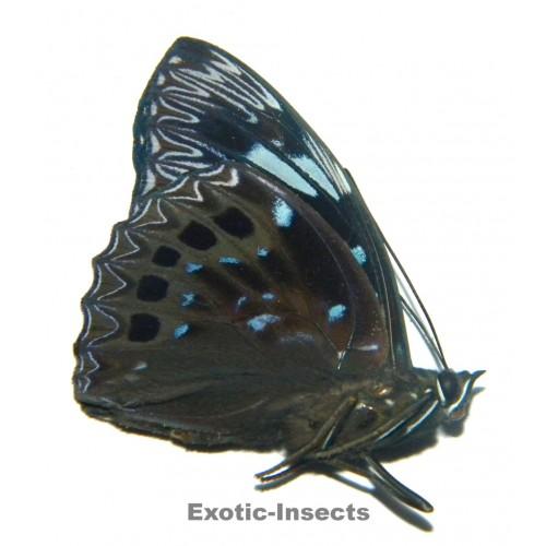 Dichorragia nesimachus machates