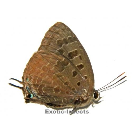 Arhopala eumolphus adonius