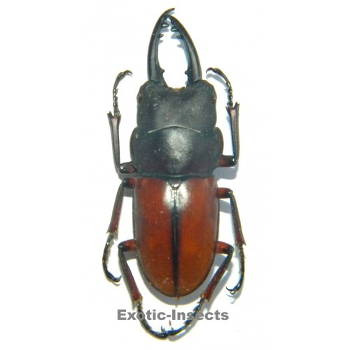 Prosopocoilus bruijni pelengensis  (30-34mm)