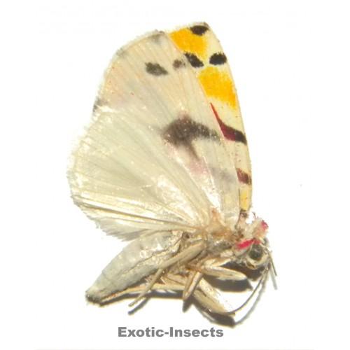 Misc. moth sp.74