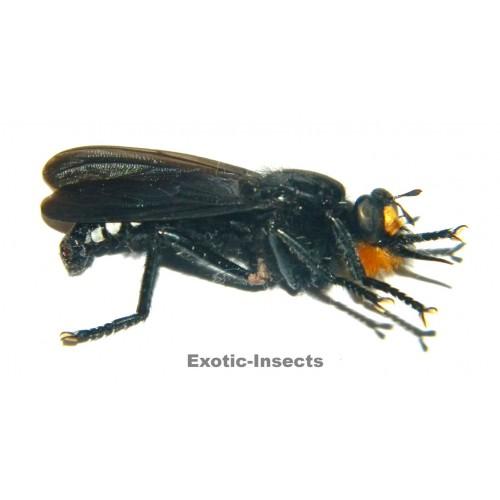 Asilidae sp.02