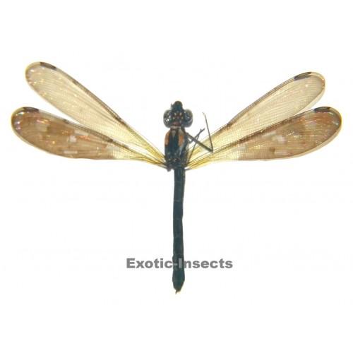 Heliocypha fenestrata LIGHT FORM