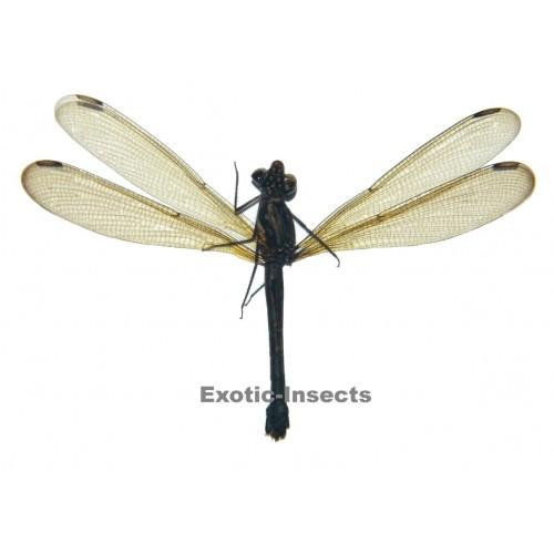 Zygoptera sp.09