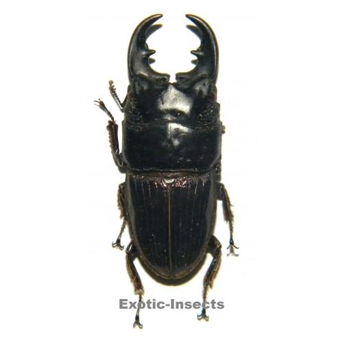 Aegus philippinensis banggaiensis (30-34mm)