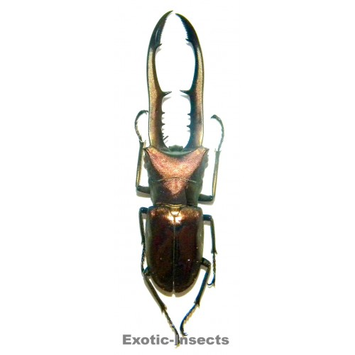 Cyclommatus metalifer finae (80-84mm)