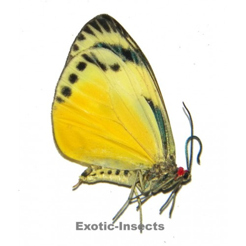 Chalcosia phalaenaria phalaenaria