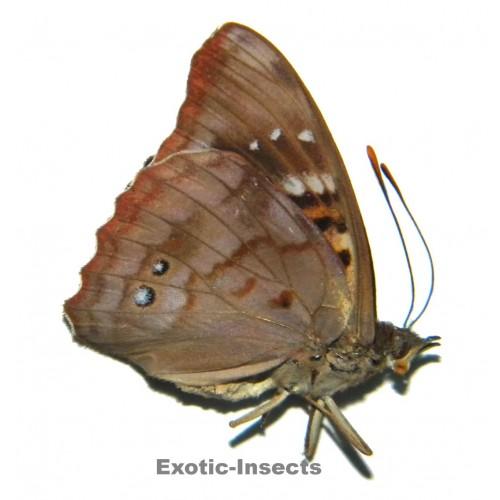 Doxocopa zunilda
