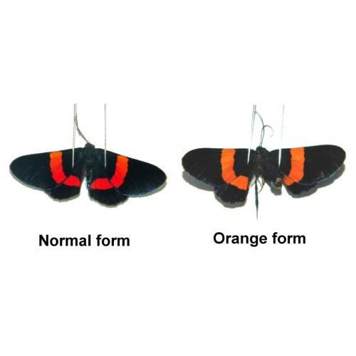 Milionia drucei (Orange form)