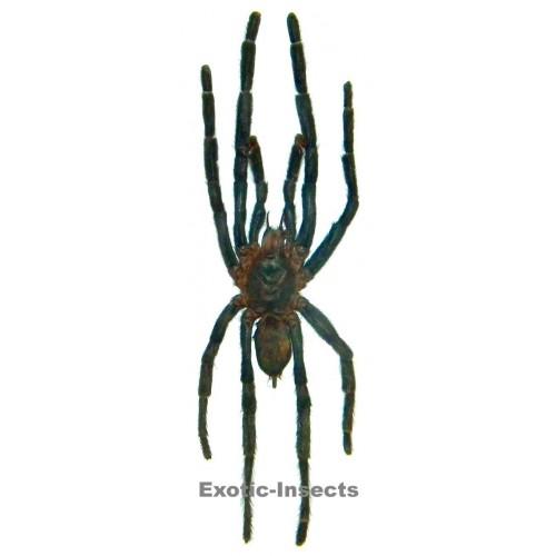 Arachnida sp.13