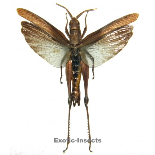 Orthoptera sp.68