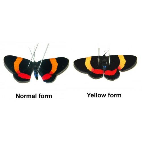 Milionia drucei (Yellow form)