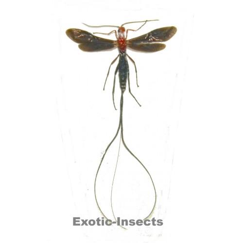 Gasteruptiidae sp.4