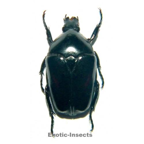 Dilochrosis parvula BLACK FORM