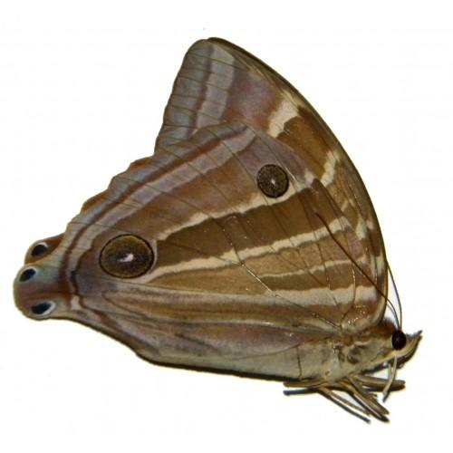 Amathusia taenia taenia