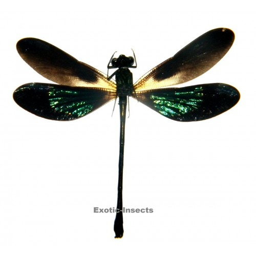 Euphaea variegata