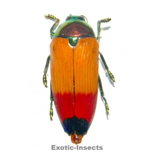 Metaxymorpha apicalis