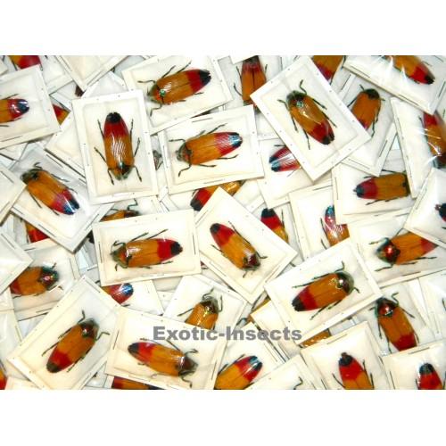 Metaxymorpha apicalis Set of 10