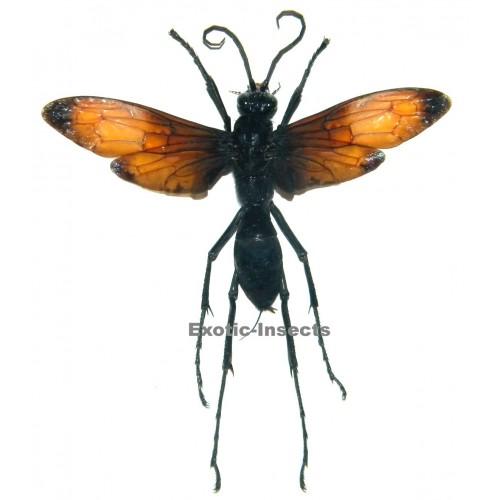 Hemipepsis anthracina (50-59mm)