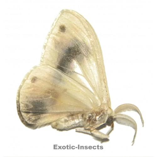 Macrocilix maia