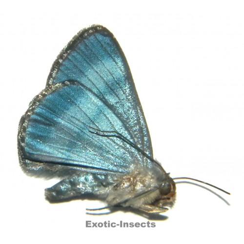 Misc. moth sp.75