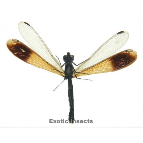 Zygoptera sp.10