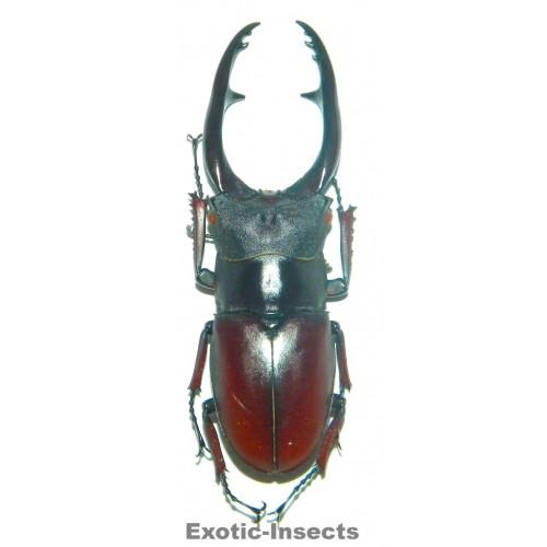 Prosopocoilus astacoides pallidipennis (65-67mm)