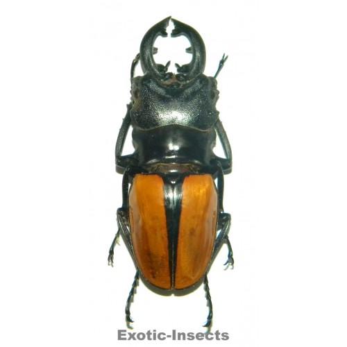 Odontolabis ludekingi (65-69mm)