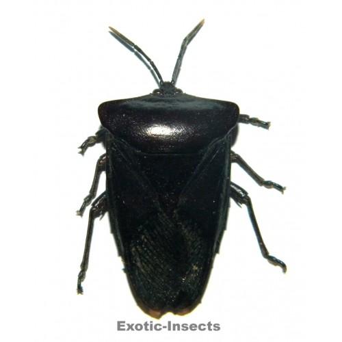 Heteroptera sp.25
