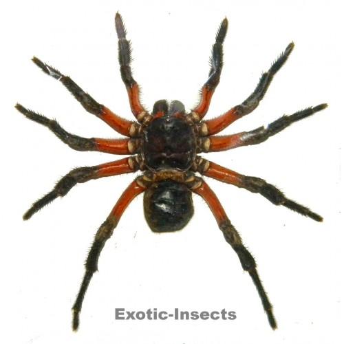 Arachnida sp.15
