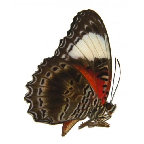 Cethosia cydippe insulata