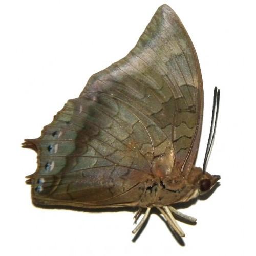 Charaxes bernardus baliensis
