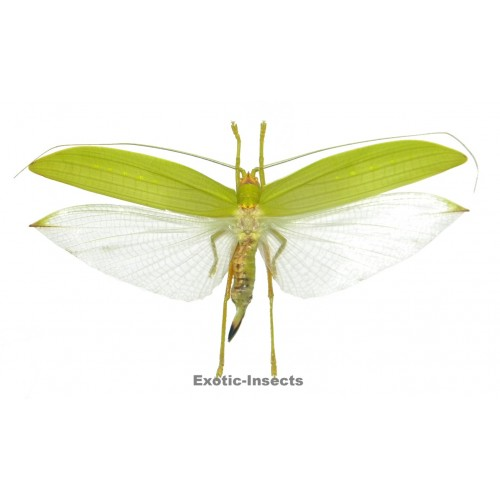Orthoptera sp.67
