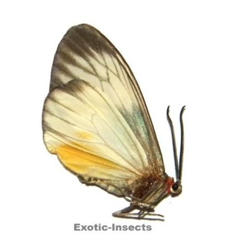 Mileria adalifa candida WHITE FORM