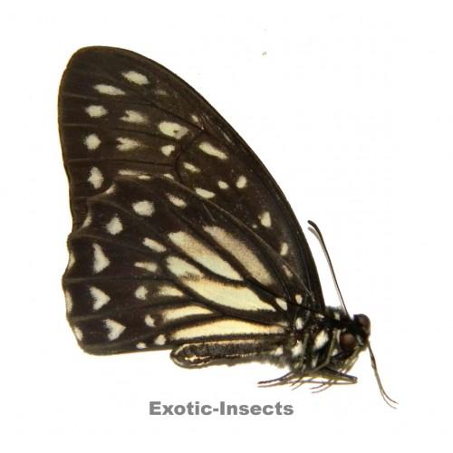 Graphium deucalion leucalion