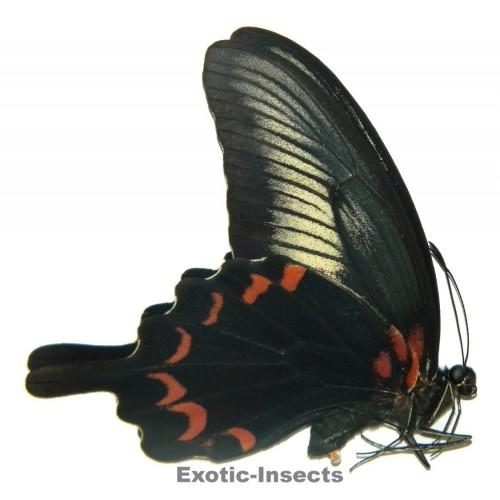 Papilio oenomaus oenomaus
