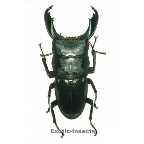 Dorcus titanus titanus (75-79mm)