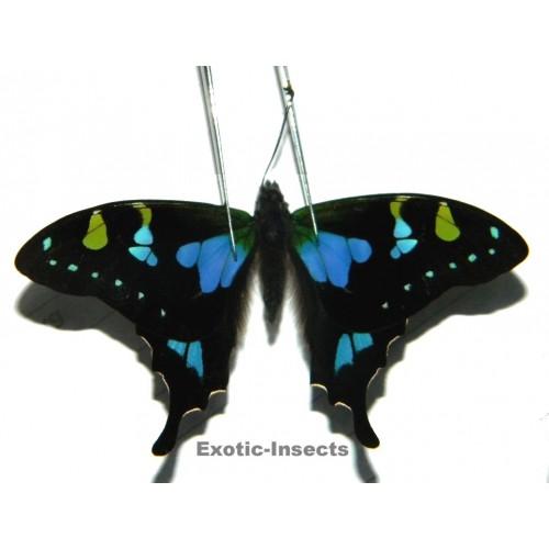 Graphium weiskei BLUE VARIATION
