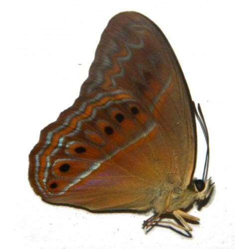 Cirrochroa imperatrix
