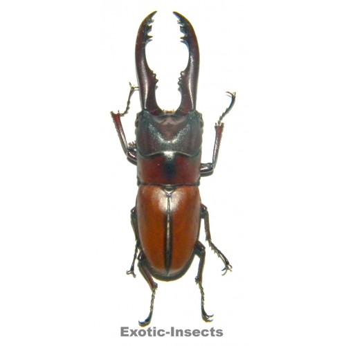 Prosopocoilus mohnikei mohnikei (50-54mm)