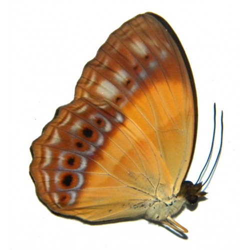 Cupha prosope wallacei