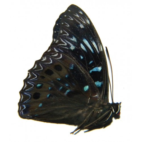 Dichorragia nesimachus mineae