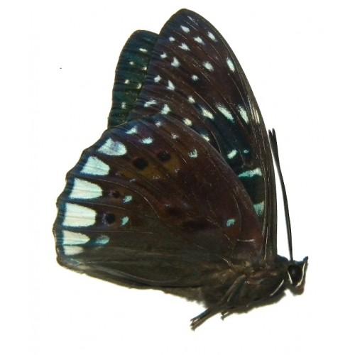 Dichorragia ninus ninus