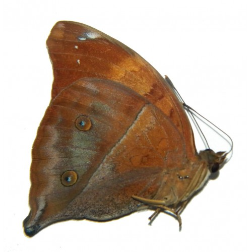 Doleschallia bisaltide tualensis